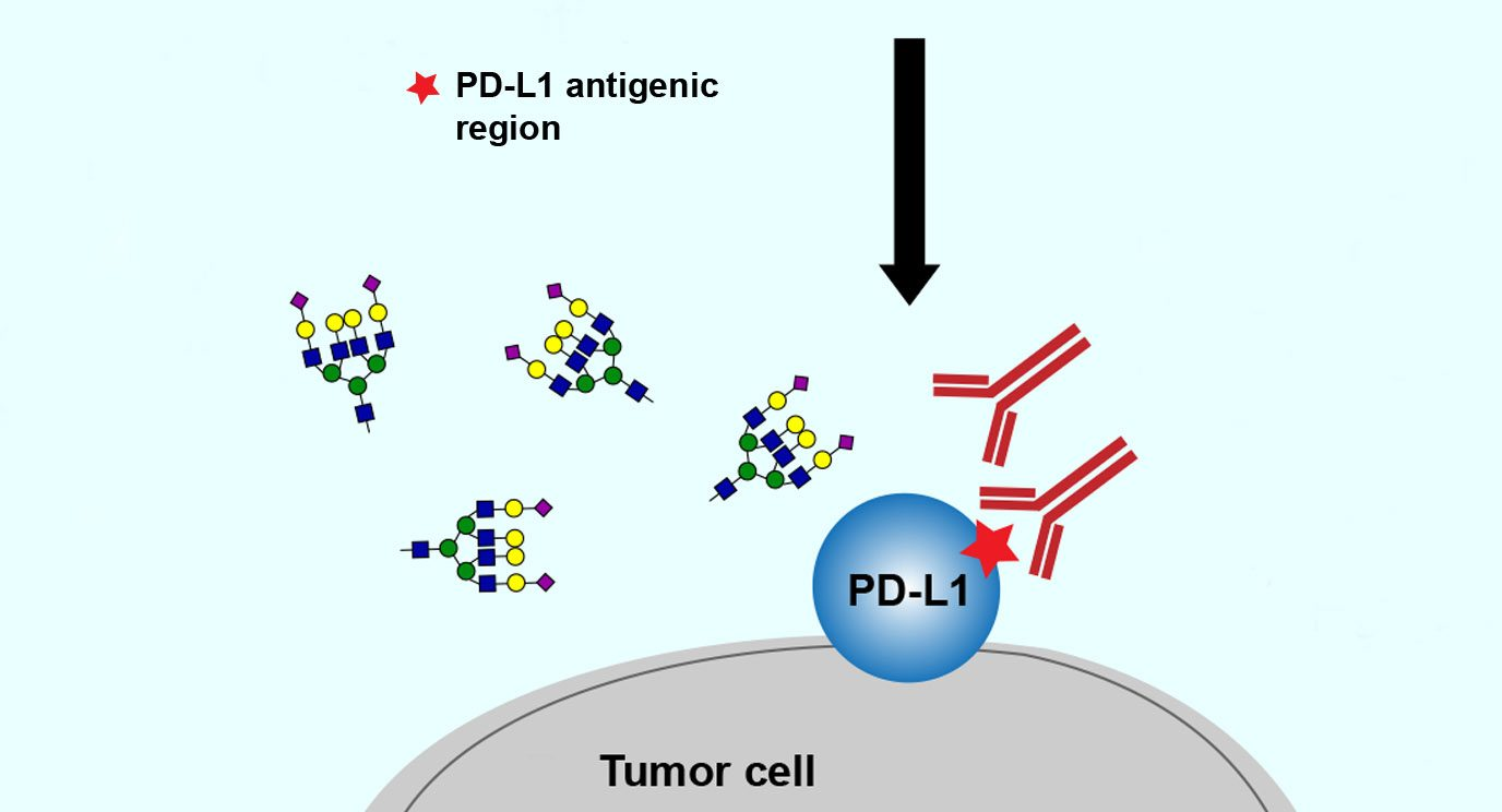 Glycans attach to the PD-L1 protein on tumors, making it hard to detect. MD Anderson researchers have found that purging glycans makes PD-L1 easier to find and accurately assess. Image courtesy of Cancer Cell.