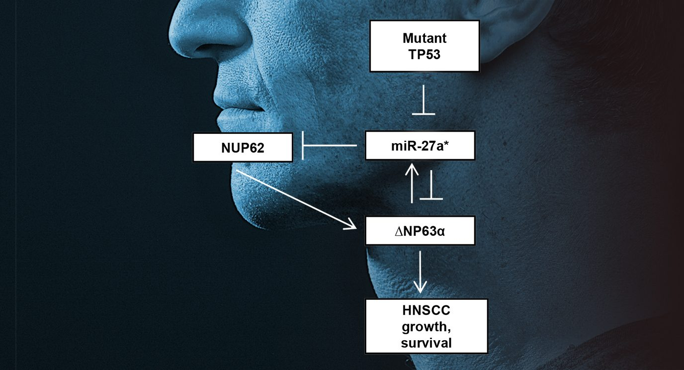 Mutant TP53 disrupts a regulatory loop between miR-27a and ΔNp63⍺, leading to head and neck squamous cell cancer growth and survival.