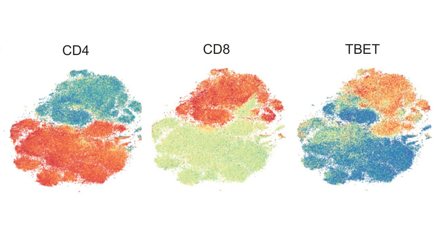 These t-distributed stochastic neighbor embedding (tSNE) plots reflect the grouping of similar T cells gathered from the blood of patients treated with immune checkpoint blockade. The overlaid colors show expression of important proteins – CD4, CD8 and TBET – as heat maps, with red representing high expression ranging to blue at low expression.